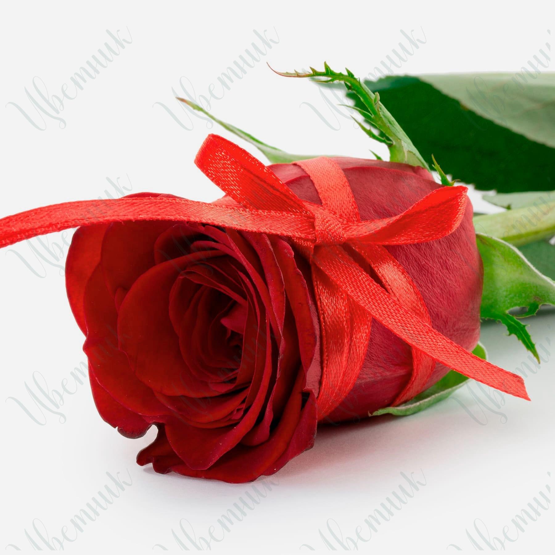 Романтическая красная роза с бантом