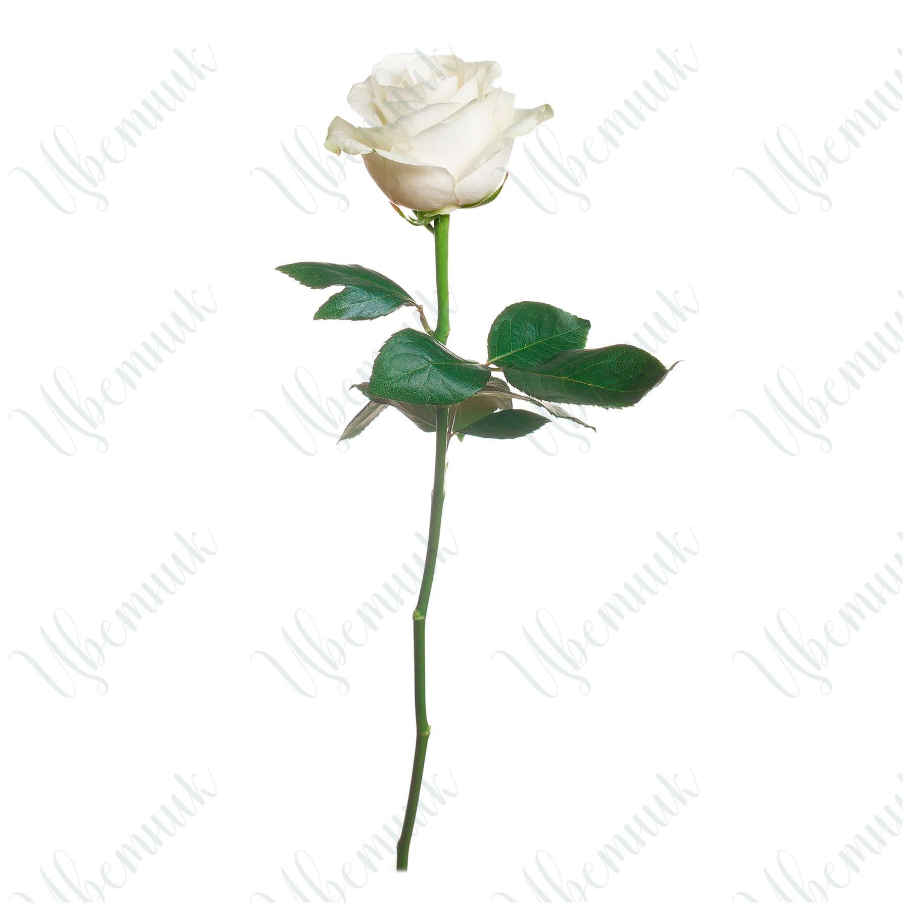 Элегантная белая роза