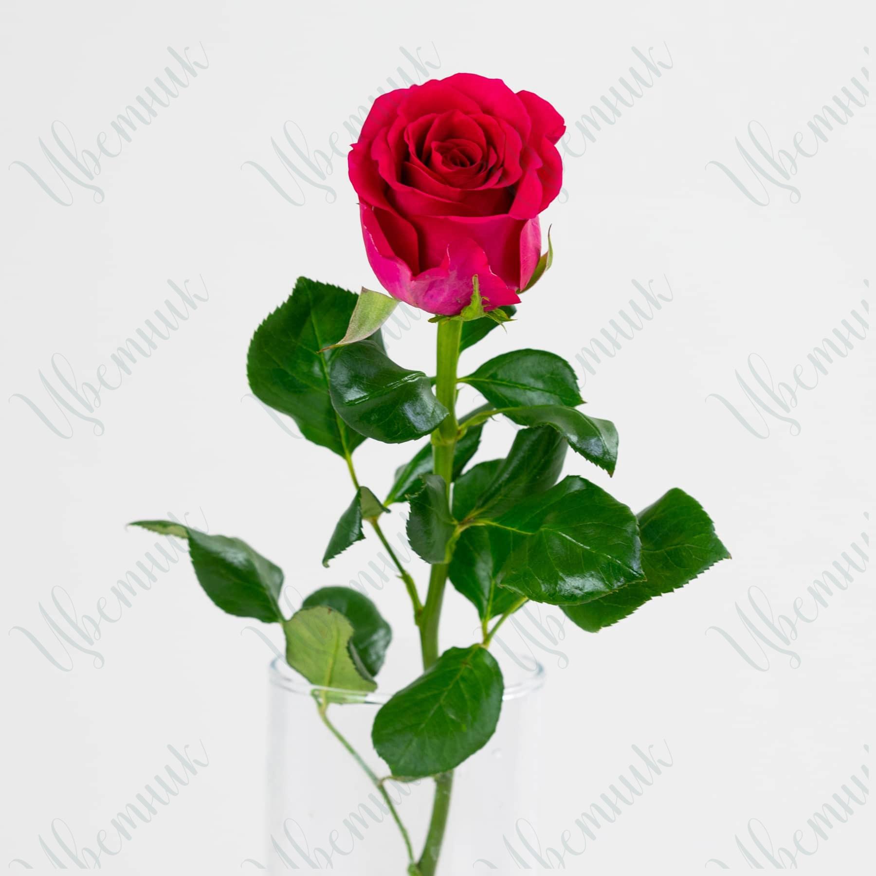 Роза малиновая Мемори 1 шт.