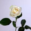 Роза Аваланш 50-60 см 1 шт.