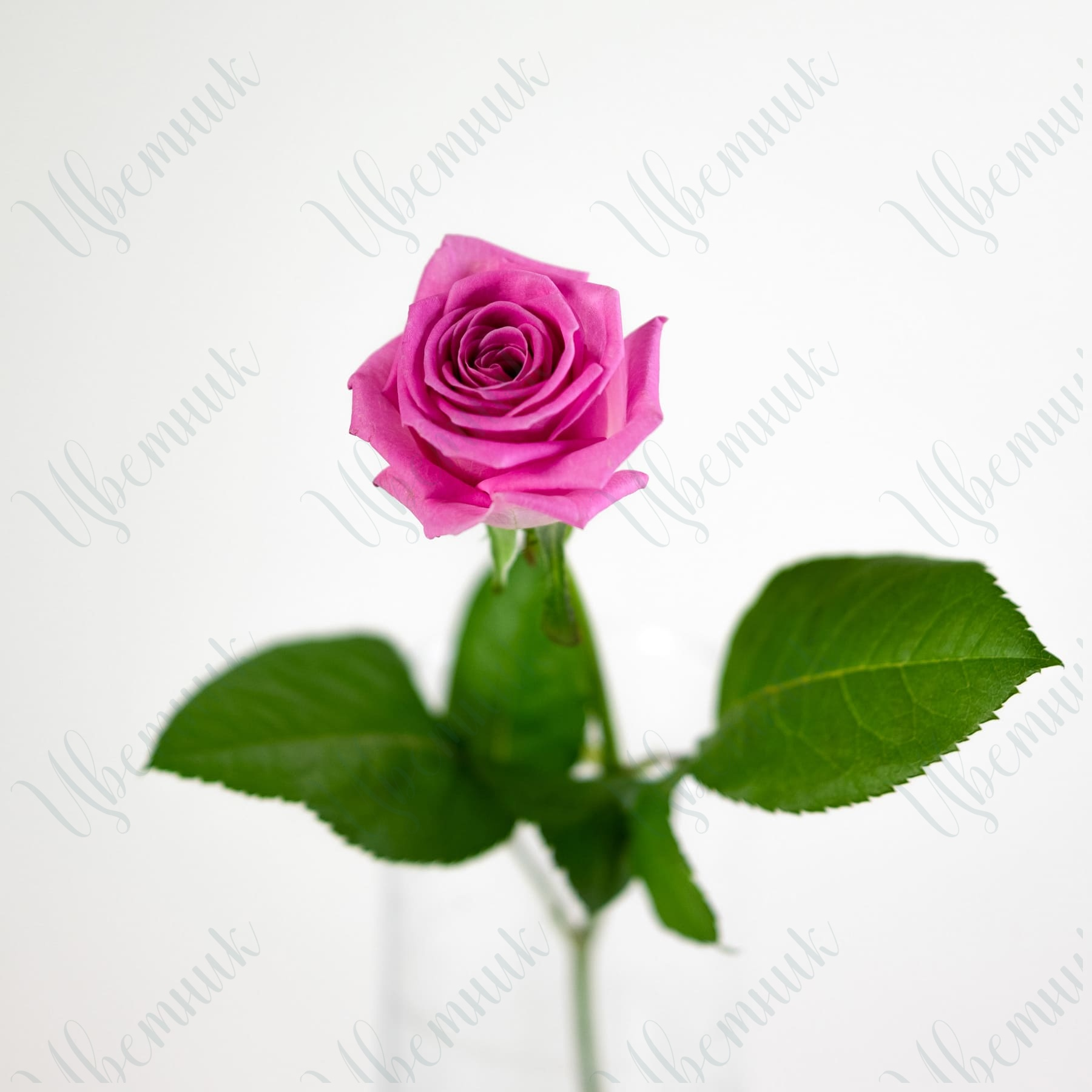 Роза Аква 50-60 см 1 шт.