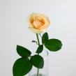 Роза Пич Аваланш 40 см 1 шт.